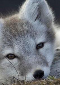 Obrázok Polární liška 3D pohlednice