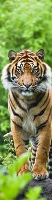 Obrázok Tygr bengálský Záložka 3D