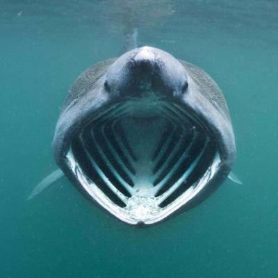 Obrázok Žralok veliký pohlednice čtverec