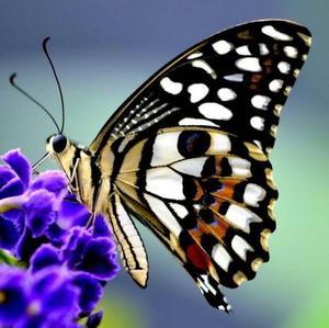 Obrázok Magnetický motýl