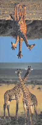 Obrázok MZ 877 Žirafy