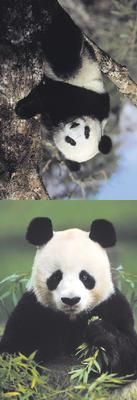 Obrázok MZ 879 Medvídek panda