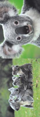 Obrázok MZ 890 Medvídek koala