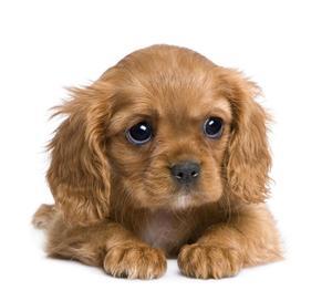 Obrázok Pohlednice 3D čtverec štěně hnědé