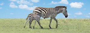 Obrázok Záložka Úžaska Zebra s mládětem
